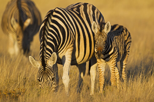 Africa, Namibia, Burchell's zebra with foal in etosha national park - FOF002541