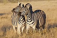 Africa, Namibia, Burchell's zebra in etosha national park - FOF002514