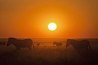 Africa, Namibia, Burchell's zebra in etosha national park at sunset - FOF002517