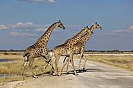 Africa, Namibia, Giraffe in etosha national park - FOF002527