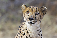 Africa, Namibia, Close up of cheetah - FOF002495