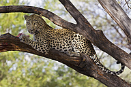 Africa, Namibia, Close up of Leopard on a tree - FOF002496