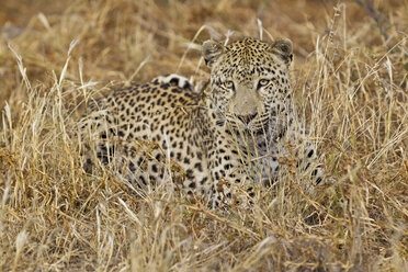 Africa, Namibia, Leopard lying in grass - FOF002490