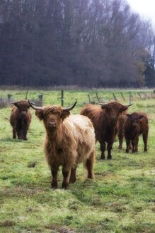 Germany, Harz, Long haired cattles on field - HKF000279