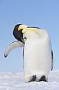 Antarctica, Antarctic Peninsula, Emperor penguin on snow hill island - RUEF000529