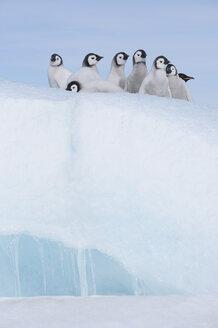 Antarctica, Antarctic Peninsula, Emperor penguins chicks on snow hill island - RUEF000483