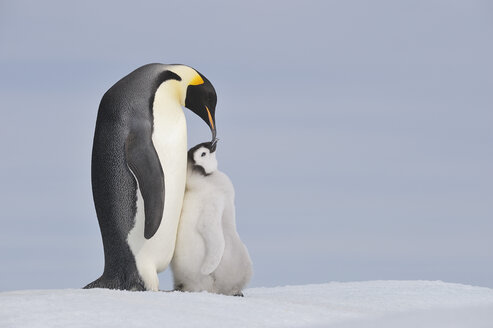 Antarctica, Antarctic Peninsula, Emperor penguin with chick on snow hill island - RUEF000494