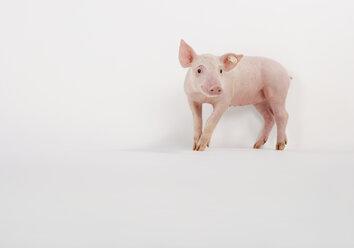 Pink piglet on white background - WBF000487