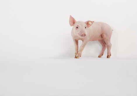 Pink piglet on white background - WBF000487