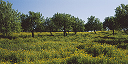 Spain, Mallorca, View of almond Trees in a Flower Meadow - WBF000138
