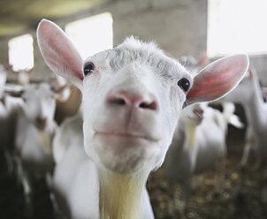 Germany, Goats in barn - WBF000349