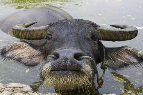 China, Xing Ping, View of water buffalo, close up - HKF000321