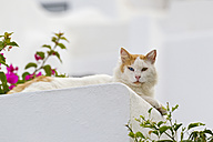Europe, Greece, Cyclades, Santorini, Cat sitting on wall - FOF002581