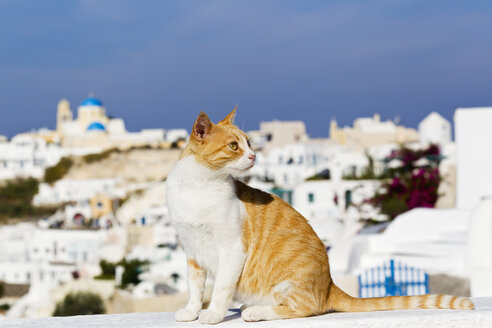 Europe, Greece, Cyclades, Santorini, Cat in the streets of Oia - FOF002621