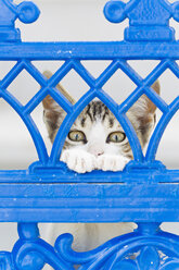 Europe, Greece, Cyclades, Thira, Santorini, Oia, Kitten watching through fence - FOF002768