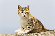 Europe, Greece, Cyclades, Thira, Santorini, Oia, Cat sitting on wall - FOF002731