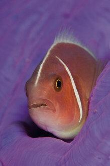 Indonesia, Komodo, Pink skunk clownfish swimming underwater - GNF001192