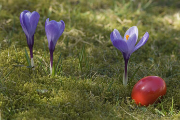 Germany, Bavaria, Crocus and easter egg on grass - CRF001961