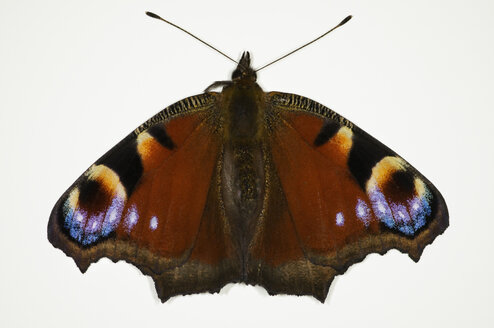 Peacock butterfly, close up - MUF000867