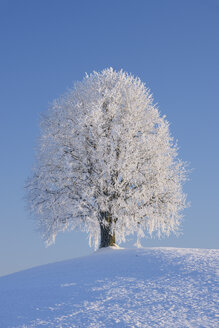 Europe, Switzerland, Canton of Zug, View of lime tree on snowy landscape - RUEF000638