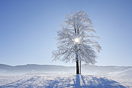 Europe, Switzerland, Canton of Zug, View of lime tree on snowy landscape - RUEF000541