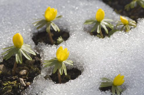 Germany, Bavaria, Winter aconite in snow, close up - CRF002005