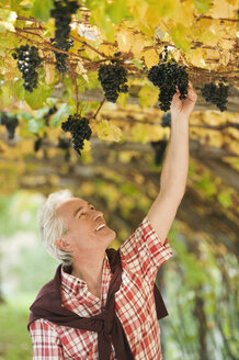 Italy, South Tyrol, Mature man looking at bunch of grapes at grape vine - WESTF015975