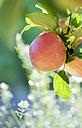 Germany, Deggenhausertal, Branch of apple tree, close up - SMF000634