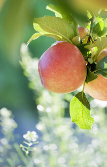 Germany, Deggenhausertal, Branch of apple tree, close up - SMF000634