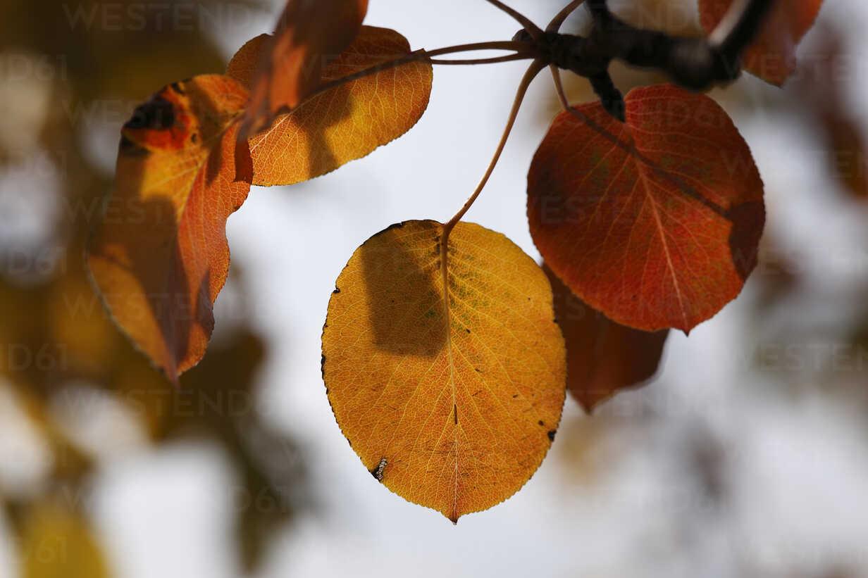 Autumn leaves of European pear (lat. Pyrus communis),  close-up - SIEF000096 - Martin Siepmann/Westend61
