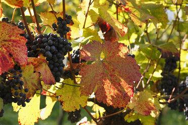 Austria, Lower Austria, Wachau, Autumn and vinegrapes - SIEF000112