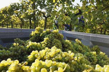 Austria, Lower Austria, Mostviertel, Wachau, Arnsdorf, Grapes harvest in vineyard - SIEF000123
