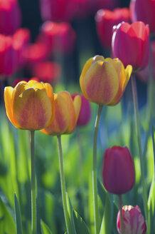 Germany, Baden-Württemberg, Markdorf, Field of tulips - SMF000649