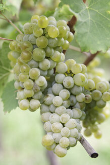 Italy, South Tyrol, Terlan, Bunch of grapes, close up - SMF000671