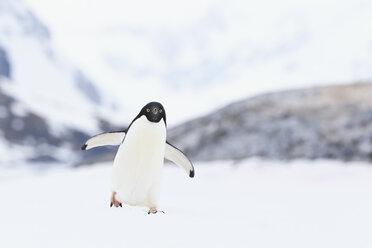 South Atlantic Ocean, Antarctica, Antarctic Peninsula, Lemaire Channel, Adelie penguin on yalour islands - FOF002919