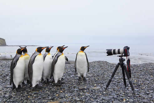 South Atlantic Ocean, United Kingdom, British Overseas Territories, South Georgia, St. Andrews Bay, King penguins standing in front of camera - FOF003148