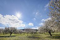 Spain, Balearic Islands, Majorca, Montuiri, View of blooming almond trees - SIEF000625