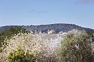 Spain, Balearic Islands, Majorca, Blossoming almond trees, church in alqueria blanca near santanyi - SIEF000731