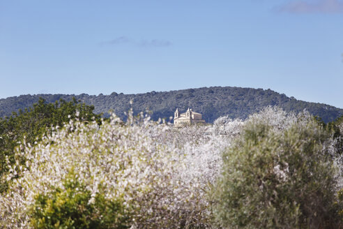 Spain, Balearic Islands, Majorca, Blossoming almond trees, church in alqueria blanca near santanyi - SIEF000731