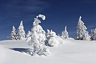Germany, Bavaria, Upper Bavaria, Garmisch-Partenkirchen, View of snowy spruces on wank mountain - SIEF000847