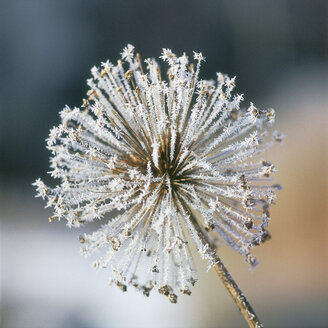 Close-up of hoarfrost inflorescence flower - WBF000836