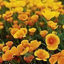 USA, California, View of poppy flowers - WBF000977