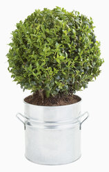 Boxwood in flowerpot against white background, close up - WBF001194