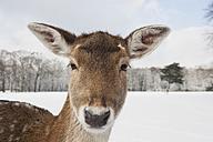 Germany, Cologne, Animal Reserve, Female fallow deer at lindenthaler tierpark - GWF001430