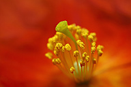 Germany, Stamen and stigma of sunrose, close up - SIEF001079