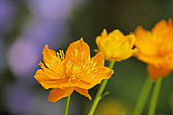 Germany, Close up of globeflower - SIEF001282