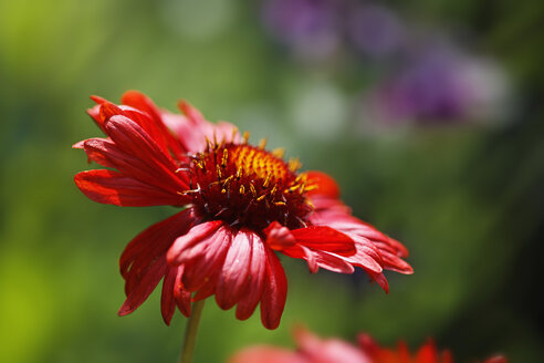 Germany, Close up of Blanket flower - SIEF001286