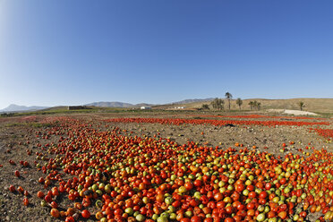 Spain, Canary Islands, Fuerteventura, Landscape with tomatoes near Tuineje - SIEF001255