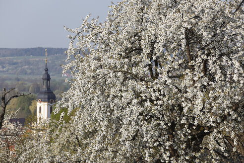 Germany, Bavaria, Franconia, Franconian Switzerland, Pretzfeld, View of sweet cherry tree blossoms and church in background - SIEF001396