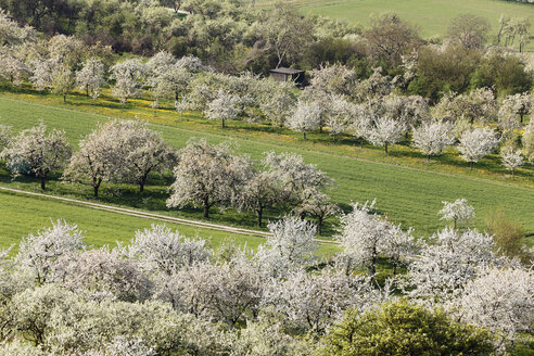 Germany, Bavaria, Franconia, Franconian Switzerland, View of sweet cherry tree blossoms in field - SIEF001405